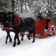Canadian Horses am Schlitten