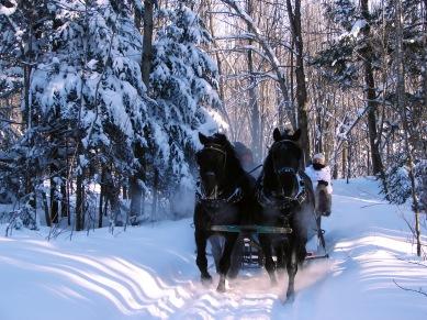 Canadian Horses am Schlitten in der Provinz Québec
