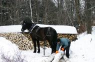 Einsatz eines Canadian Horse bei der traditionellen Arbeit