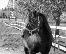 Canadian Horse Hengst